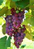 Mollige Druiven op de Wijnstok Stock Afbeeldingen