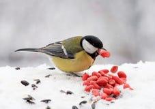 Mollige gele vogel die zaden en noten in de sneeuw eten stock afbeelding