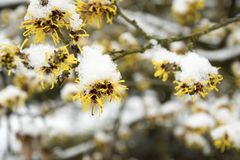 Mollis de Hamamelis photo libre de droits