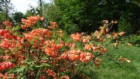 Mollis do rododendro das flores no jardim botânico fotos de stock royalty free