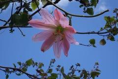 Mollissima пассифлоры Стоковые Фото