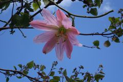Mollissima de la pasionaria fotos de archivo