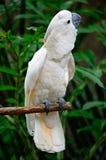 Mollucan美冠鹦鹉 免版税库存图片