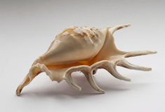 Mollusc Shell Stock Photography