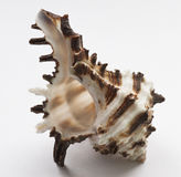 Mollusc Shell Stock Photos