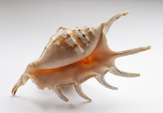 Mollusc Shell Stock Image