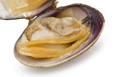 Mollusco aperto Immagine Stock
