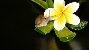 Mollusco che cammina sulla foglia isolata, fondo nero di vera dell'aloe con il fiore tropicale di plumeria del frangipane Siero d archivi video