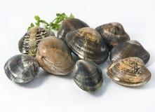 Mollusco fresco Immagini Stock