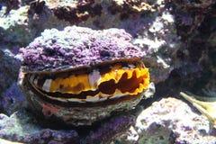 Mollusco gigante Immagine Stock