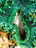 Mollusco gigante verde Immagini Stock