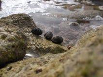 Mollusco marino della conca marina dell'isola della tartaruga la caldera/Venezuela della spiaggia di zona costiera fotografia stock libera da diritti