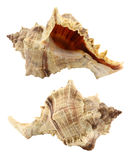 Mollusk Royalty Free Stock Images