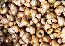 Mollusk Royalty Free Stock Photo