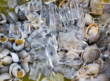 Mollusk on ice Royalty Free Stock Photos