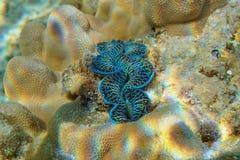 Mollusk milczka Tridacna maksimumów podwodnych maksimumy Obrazy Stock