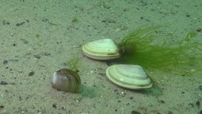 Mollusk quickly burrows in the sand, Black Sea, Donax trunculus, the abrupt wedge shell or wedge clam. Is a bivalve species in the family Donacidae stock footage