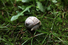 Mollusk snail. Gastropod mollusk snail crawling on damp grass in the city Park Stock Images