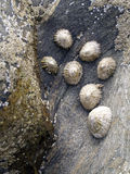 Mollusken auf Felsen stockfotos