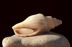 Mollusken des Roten Meers Stockfotos