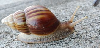 Free Mollusks On The Move Stock Photos - 160521683
