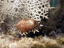 Mollusque de langue de flamant photos libres de droits