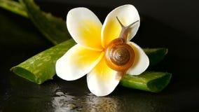 Mollusque marchant sur la feuille de Vera d'aloès d'isolement, fond noir avec la fleur tropicale de plumeria de frangipani Sérum  banque de vidéos