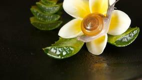 Mollusque marchant sur la feuille de Vera d'aloès d'isolement, fond noir avec la fleur tropicale de plumeria de frangipani Sérum  clips vidéos