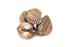Mollusques et crustacés de Cardiidae d'isolement sur le fond blanc Photo libre de droits