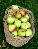 Molly with apples. Wattled basket with a crop of apples on a green grass Royalty Free Stock Photography