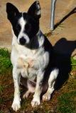 Molly dog Royalty Free Stock Photography