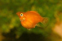 Molly-Fische Lizenzfreies Stockfoto