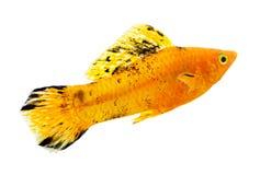 Molly-Fische auf weißem Hintergrund Stockbild