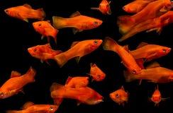 Molly fish , Aquarium fish Royalty Free Stock Photography