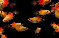 Molly fish Aquarium fish. Molly fish  Poecilia latipinna  Aquarium fish Stock Photo