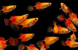 Molly fish , Aquarium fish Stock Photography