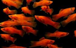Molly fish , Aquarium fish Royalty Free Stock Photo