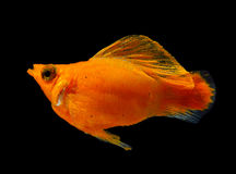 Molly fish on black background stock image