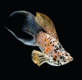 Molly fish crescent tailed isolated on black backg. Round stock photo