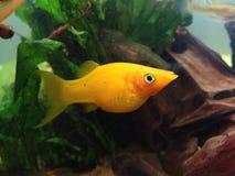 Molly fish. Female Molly in a fish tank aquarium mollies Stock Photos
