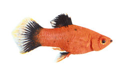 Molly fish Royalty Free Stock Images
