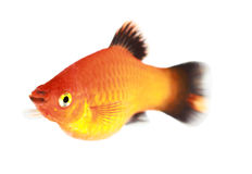 Molly fish Royalty Free Stock Photo