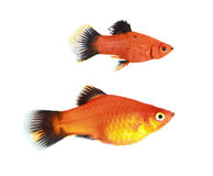 Molly fish Stock Images
