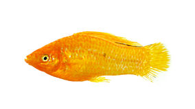 Molly fish isolated on the white background Royalty Free Stock Photography