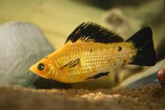 Molly fish. Male Molly fish in tropical fish tank mollies Stock Photography