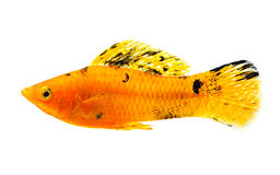 Molly fish on white background royalty free stock images