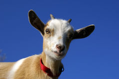 Molly the Nigerian Dwarf. Goat kid Stock Image