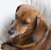 Molly Portrait. The face of a reddish brown miniature dachshund Stock Image