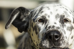 Molly the protector. My dad protective Dalmatian mix dog with her serious face on Royalty Free Stock Images