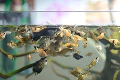 Molly in tank. Close up many Molly fish in tank Stock Photo